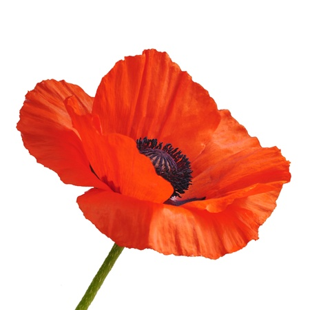 Single red poppy flower isolated on white background  Stock Photo