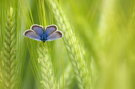 Bright blue butterfly in the green wheat ears  Shallow dof  photo