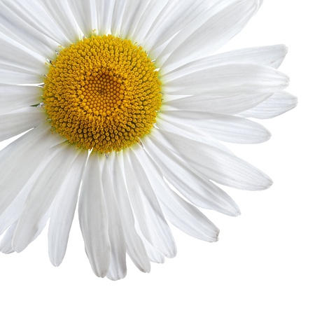 Chamomile, or daisy flower isolated on white background with clipping-path Standard-Bild