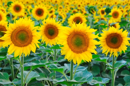 Beautiful endless field of blooming sunflowers  photo