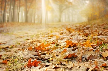 Roble Hojas secas en el suelo en un bosque hermoso del otoño Foto de archivo