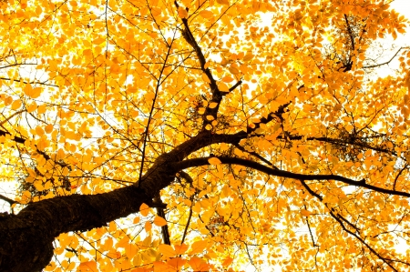 Beautiful brightly lit tree dressed in golden leaves  Fall background  photo