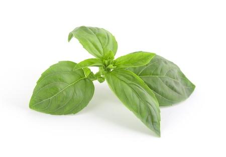 Green fresh basil leaves isolated on white background Stock Photo - 15584153