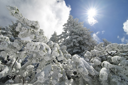 frigid: Beautiful spruces covered by snow against bright blue sky with sun