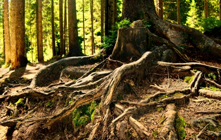 deep roots: Fairy forest with plexus of pine tree roots  Stock Photo