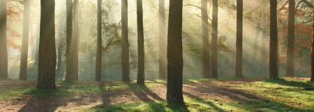 Panoramic image of morning forest with fantastic sun beams  Can be used as web site header