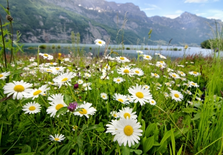 Beautiful landscape with daisy flowers on the foreground and mountain lake on the background