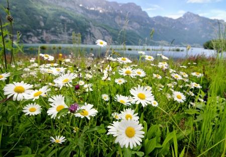 Mooi landschap met madeliefje bloemen op de voorgrond en bergmeer op de achtergrond