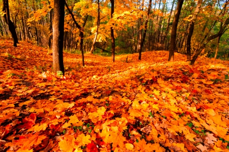 Bright red and yellow maple leaves in a fall colored forest photo