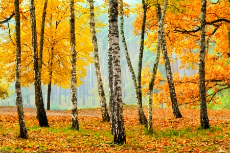 fall landscape: Birch woods in the fall colored park, beautiful landscape with tonal perspective