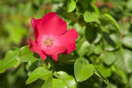 briar bush: Beautiful vivid red briar flower on a bush