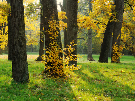 oak: Autumn in the park with oak trees: yellow leaves, green grass Stock Photo