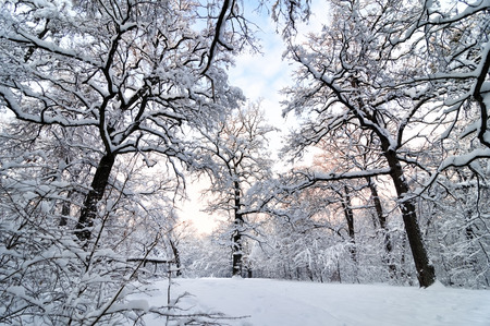 frosty morning: Beautiful Christmas landscape with trees covered by snow and evening sky