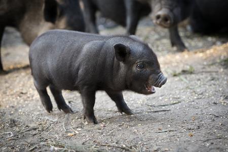 barnyard: Cute little piglet in the barnyard Stock Photo