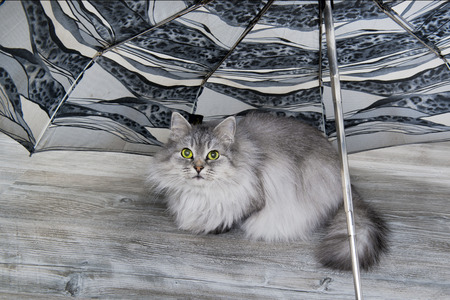 Grey fluffy cat sitting on the wooden floor under umbrella looking on the owner