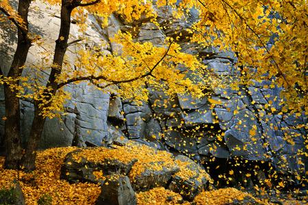風光明媚な岩に囲まれた落ち葉と美しい秋のカエデ