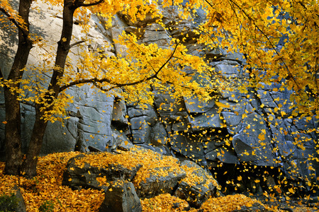 Beautiful autumn maple tree with falling leaves surrounded by scenic rocks