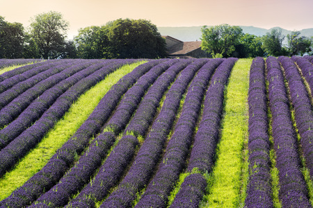 plateau of flowers: Lavender filed on the hill in the evening