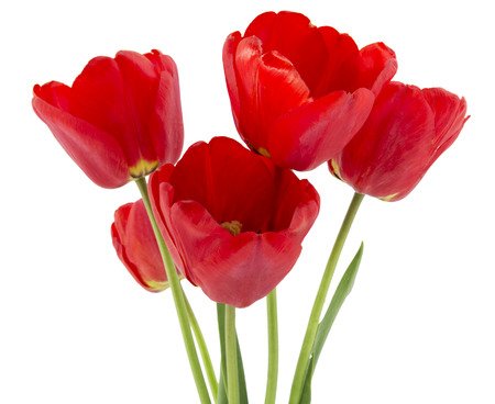 loveliness: Beautiful opened red tulips isolated on white background
