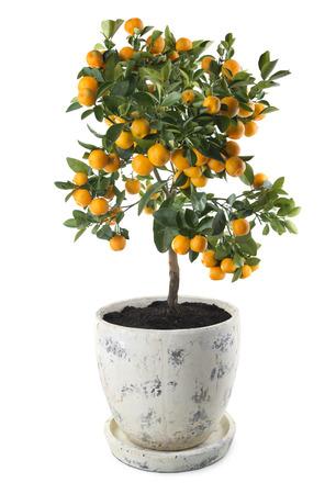 CITRICOS: Árbol de mandarina con frutas en una olla aisladas sobre fondo blanco Foto de archivo