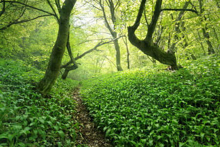 broadleaved tree: Ramsons, or wild garlic in a beautiful forest Stock Photo