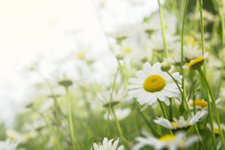 Daisies in the field with sunlight, a background