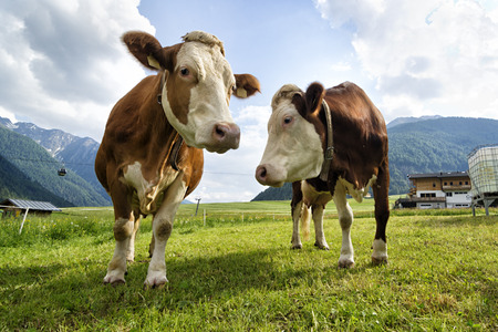 Brown cows at the farm in mountains Stockfoto
