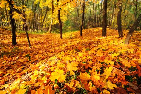 秋森と黄金のメープルの葉、地面をカバー