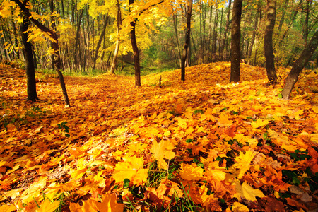 Fall forest with golden maple leaves covering the ground