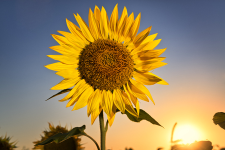 wallpaper vibrant: Blooming sunflower against beautiful sunset sky