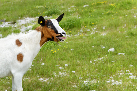 bleating: Cute funny bleating goat on a meadow
