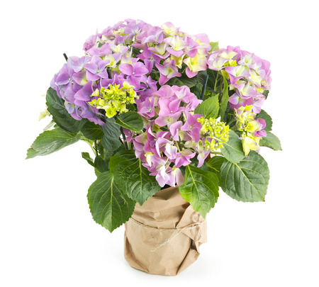 plant in pot: Beautiful pink hydrangea flowers in a pot Stock Photo