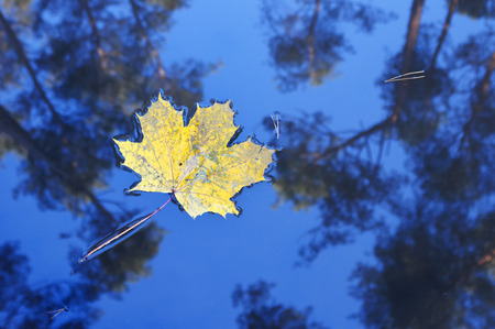 fall leaf: Yellow maple leave in the water with trees reflection. Fall background