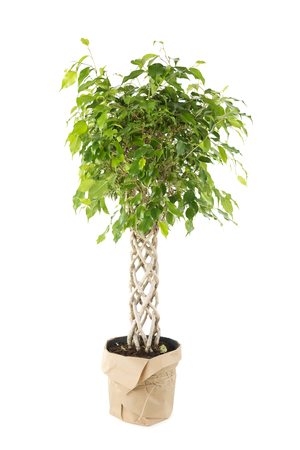 ficus: Ficus tree in the pot packed in the wrapping paper Stock Photo