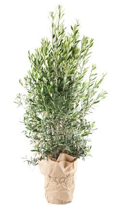 young tree: Olive tree in the pot with wrapping paper Stock Photo