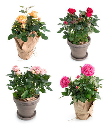 Set of rose flowers in pots isolated on white background Stock Photo