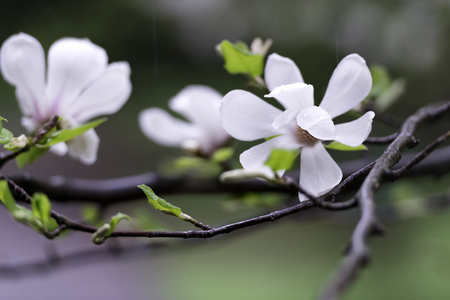 Tender white magnolia flowers on the tree with rain drops