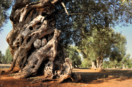Old olive tree in the garden Stock Photo