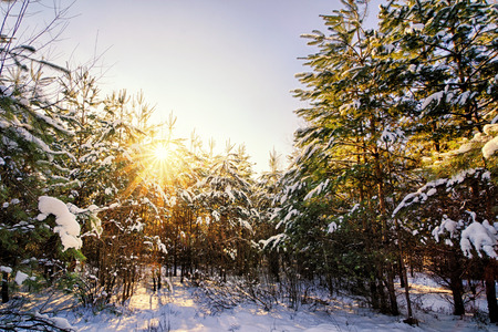 Bella scena invernale nella foresta di abeti al sorgere del sole