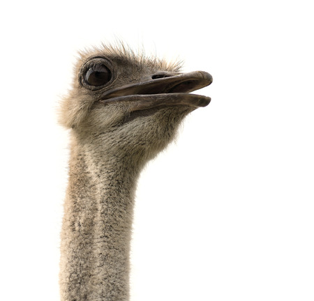 Ostrich head looking with open beak isolated on white background