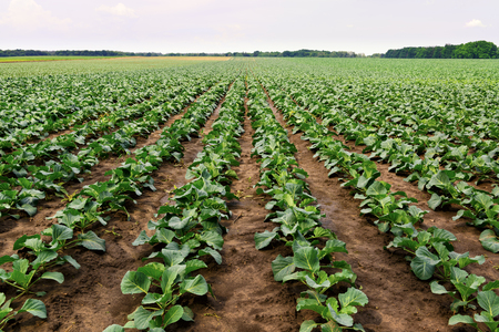 cultivated: Lines of cabbage in the field, rural landscape