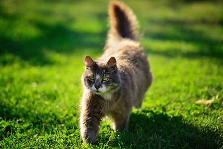canny: Funny brown long-hair cat walking on green grass on a sunny meadow in the garden