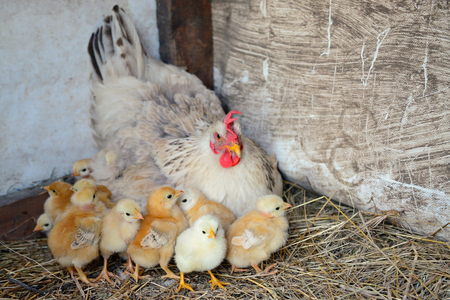 mother hen with cute little chickens on the farm