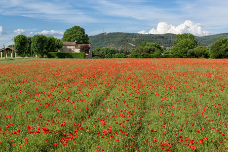 Beautiful poppies flowers field in a countryside
