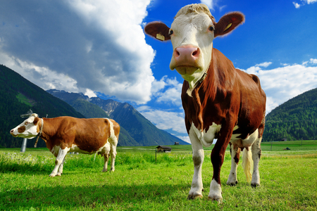 Two cows on the grassy alpine meadowwith mountains Stock Photo