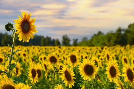 One tall sunflower with sunflower field and beautiful evening sky on the background