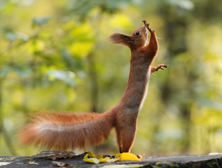 Funny squirell standing on two legs with one paw up Reklamní fotografie