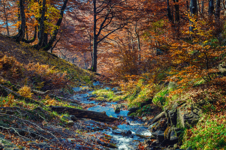 Golden colors of autumn in a beech forest with mountain creek