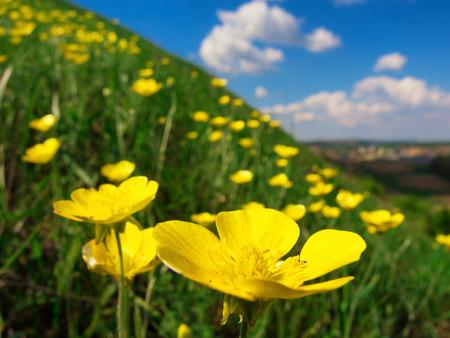 Wild yellow flowers on a grassy slope. Macro shot