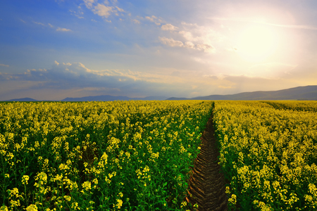 Tractor trail on the rapeseed field at sunset. Rural landscape in Slovakia with hills on horizon
